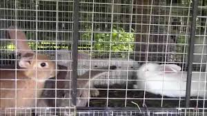 Rabbit Hutch For 4 Rabbits Raising Meat Rabbits And Our Rabbit Hutch Youtube
