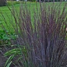 schizachyrium scoparium smoke signal hardy ornamental grasses