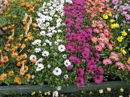 gardening hardy hydrangeas full of flowers canberra citynews