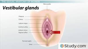 Private Parts Female Anatomy External Development In Males And Females Video U0026 Lesson