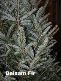 balsam fir christmas tree your guide to ontario farm grown christmas trees