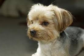 haircut for morkies pics of morkie haircuts the best haircut 2017