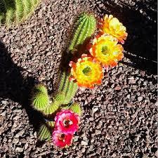 flowers tucson 121 best tucson plants and animals images on tucson