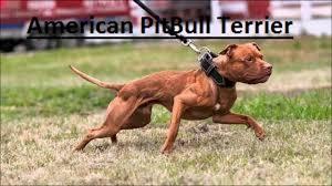 l american pitbull terrier a p b t american bully vs american pitbull terrier differences youtube