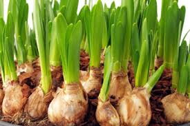 what bulbs grow in zone 8 learn about common zone 8 bulb varieties