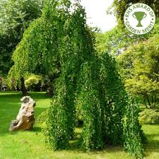 cercidiphyllum japonicum pendulum weeping katsura tree theme
