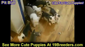 pitbull puppies dogs for sale in miami florida fl