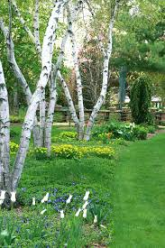 outdoor garden with white bark trees outdoor trees with white