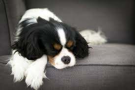 affenpinscher kennel stockholm 10 things only a cavalier king charles spaniel owner will