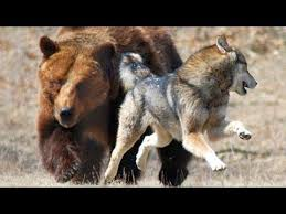 Animal Planet Documentary Grizzly Bears Full Documentaries - discovery channel animals documentaries wolves vs grizzly bears