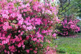 Pink Spring Flowering Shrubs - in florida early spring flowers join winter u0027s wonders diggin