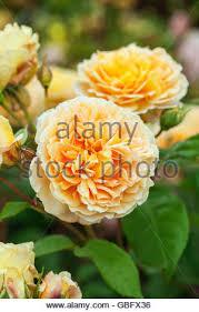 Fragrant Climbing Plant - rosa crown princess margareta u0027auswinter u0027 a short climbing