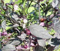 purple flash ornamental pepper seeds ornamental pepper seeds