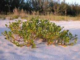 native plants grow on the sand dunes at this beach stock photo inkberry for sale wilcox nursery