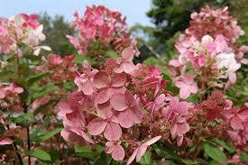 bulk hydrangeas hydrangea paniculata bulk early sensation havlis cz