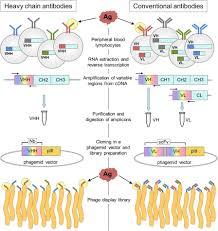 frontiers single domain antibodies as versatile affinity