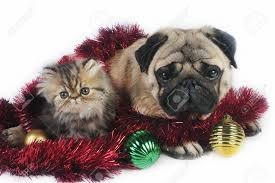 pug dog with little persian kitten surrounded by christmas
