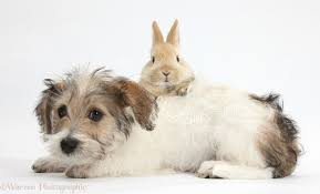 bichon frise cute pets cute bichon frise x jack russell puppy and bunny photo wp38485