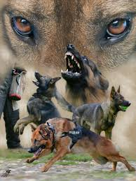 belgian shepherd youtube german shepherds german shepherd pinterest german shepherds