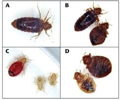 Do Bed Bugs Get On Dogs Can Dogs Catch Bed Bugs U2013 Restate Co