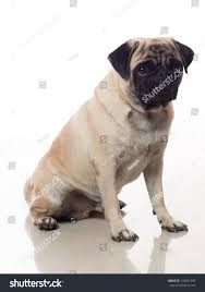 portrait pug dog sitting down stock photo 144851989 shutterstock