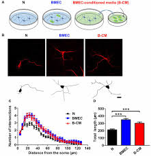 frontiers neurovascular interaction promotes the morphological