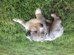 4 month australian shepherd view ad australian shepherd puppy for sale arkansas ozark usa
