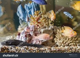 Home Aquarium Home Aquarium Fish Parrots Hypostomus Plecostomus Stock Photo