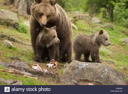 family bears stock photo royalty free image 86281935 alamy