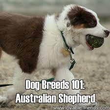 australian shepherd meme dog breeds 101 australian shepherd http lovable dogs com