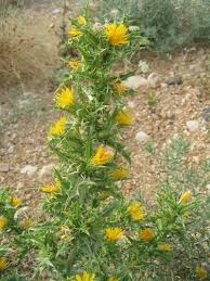 frangula californica wikipedia scolymus hispanicus risk u2013 california invasive plant council