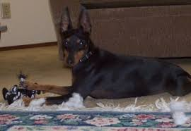 black friday dog toys a black and tan toy manchester terrier dog is laying on a tan