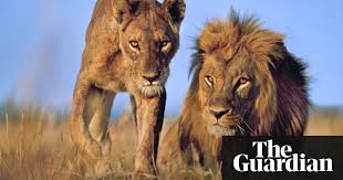 lions on verge of extinction report says