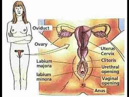 Female Anatomy Image Anatomy And Physiology Of Female Reproductive System Youtube