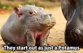 si e social hippopotamus they start out as just a potamus hippopotamus starecat com