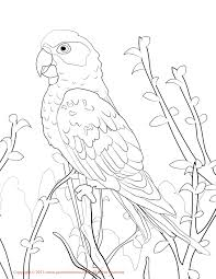 macaw coloring pages okids com scarlett macaw coloring pages