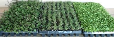 zoysia tenuifolia bluedale plants