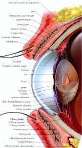 best 25 human eye diagram ideas on pinterest diagram of the eye