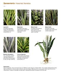 Tall Indoor Plants Low Light Sansevieria Assorted Varieties Sansevieria About 70