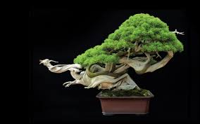 bonsai at least 800 years old pics