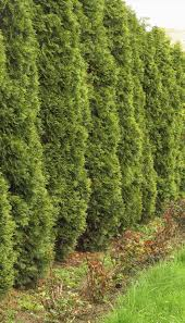 evergreen home decor surprising evergreen privacy hedge 26 for decor inspiration with