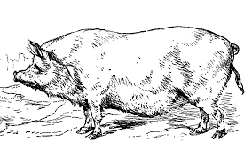 free printable coloring book page the berkshire pig