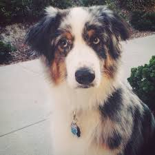 australian shepherd joint problems this australian shepherd u0027s heterochromia cuts across both her eyes
