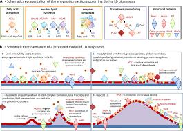 biogenesis of the multifunctional lipid droplet lipids proteins