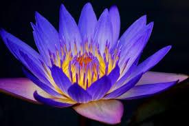 purple and blue flowers nymphaea caerulea lótus azul blue water tattoo