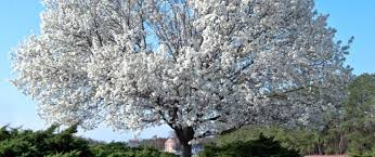 cherry blossom tree facts dogwood tree facts everything you need to know