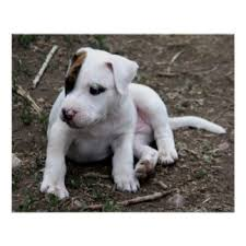 american pitbull terrier gray american pit bull terrier posters zazzle
