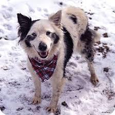 australian shepherd and border collie emily deaf adopted dog cincinnati oh australian shepherd