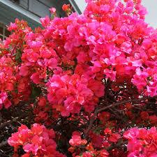 lush bougainvillea varieties sunset