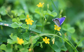 common blue butterfly on yellow petaled flower during daytime hd